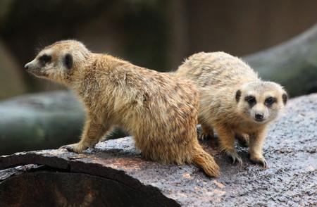 Macro image of meerkat in nature