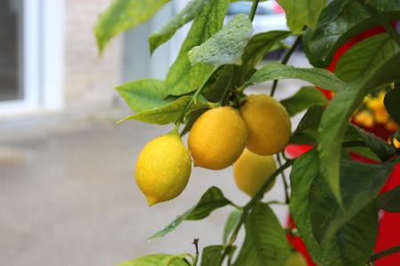 Lemon tree with bright yellow fruits 版權商用圖片 - 86431088