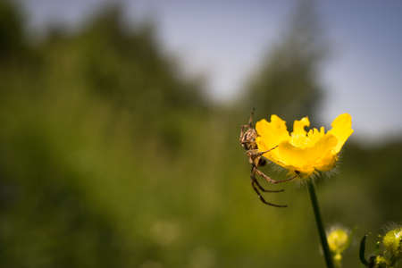 ambush: Spider in an ambush. Macro.Hunting time when the morning sun lights the nature came.