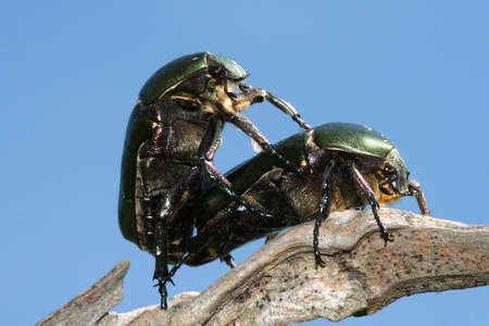 scarabaeidae: Bug  Stock Photo