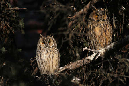 perching: Two long-eared owl perching at the branch.