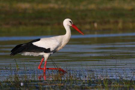 widlife: Hunting white stork Stock Photo