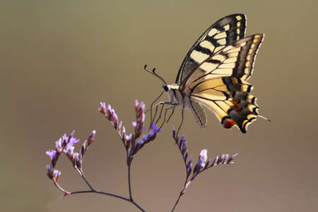 widlife: Beautiful swallowtail butterfly flying around pink flower