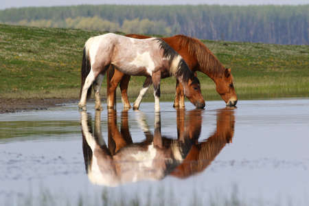 Two wild beautiful horses drinking water Banque d'images