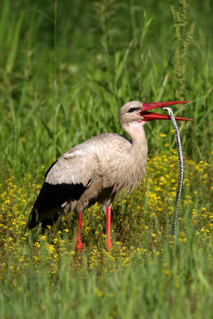 widlife: White stork eating big snake on the meadow