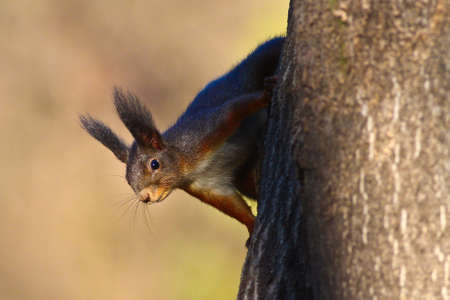 widlife: Portrait of nice red squirrel on the tree