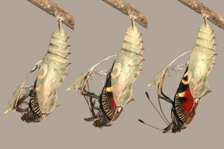 Emerging and metamorphosis of beautiful peacock butterfly