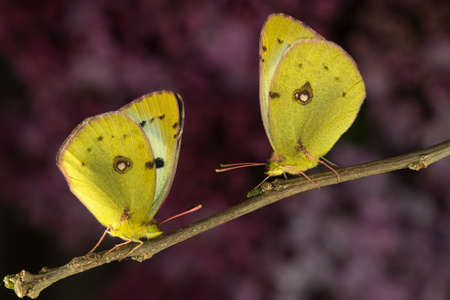 clouded: Two  bergers clouded yellow butterfly sitting on  the branch