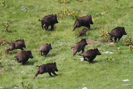 Frightened wild boar drove runing awy