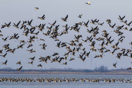 migrated: The big flock of migratory grese on the lake Stock Photo