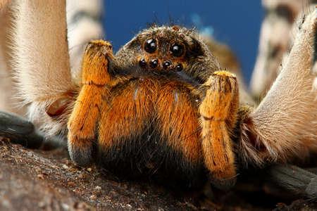 wolf spider: Closeup of  dangerous creepy wolf spider tarantula species