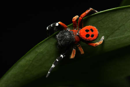 lady bird: Red lady bird spider on the leaf Stock Photo