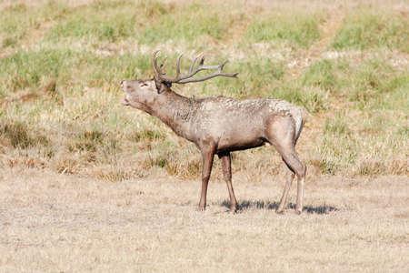 red deer: arge red deer roaring in mating season Stock Photo