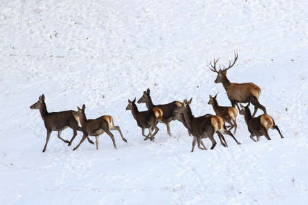 runing: Runing hind of red deer in snow Stock Photo