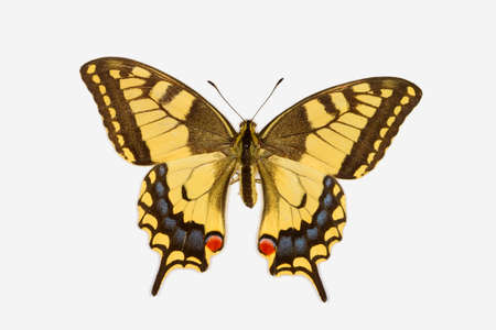 Rare Swallowtail butterfly, latin name papilio machaon isolated on white Stock Photo