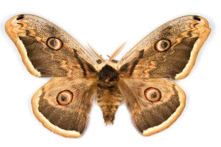 The Great Peacock Moth latin name Saturnia pyri isolated on white