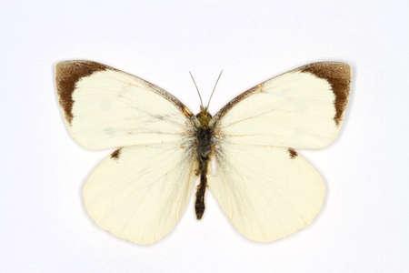 brassicae: Large White latin name Pieris brassicae isolated on white