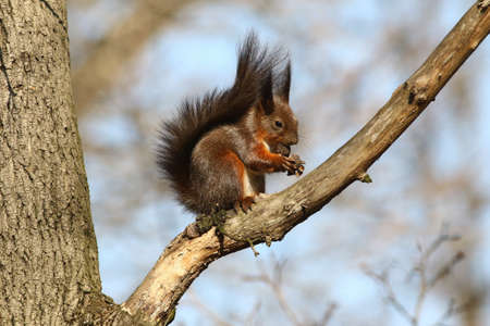 widlife: Red squirrel eating nut on the tree