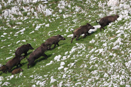 drove: Frightened wild boar drove runing on rocky slope