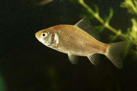 crucian carp: Immature crucian carp fish swimming  in the pond