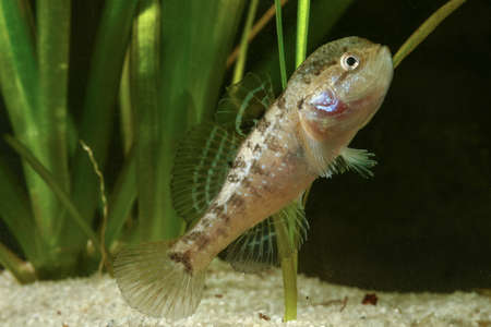 invasive: Male of Chinese sleeper fish, perccottus gleni,  invasive species