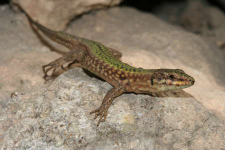 endemic: Maltese wall lizard, Podarcis filfolensis protected endemic reptile species