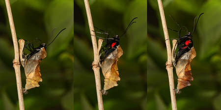 emerging: Emerging and metamorphosis of Philippinesl Golden birdwing  butterfly, Troides rhadamantus Stock Photo