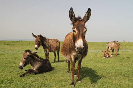 ears donkey: Drove of donkeys resting in the green meadow
