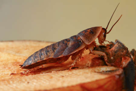 madagascar hissing cockroach: Deaths head cockroach creapy and big pest insect
