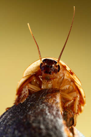 madagascar hissing cockroach: Portrait of Deaths head cockroach Blaberus craniifer Stock Photo