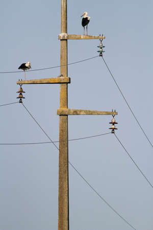 electric grid: Two migratory white stork on the power line
