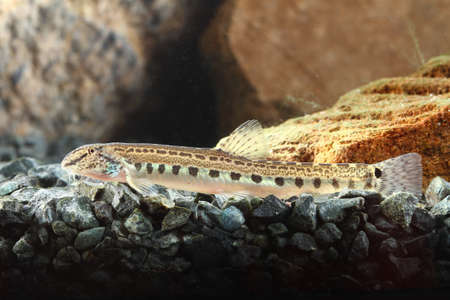 European fresh water spined loach is resting Banco de Imagens