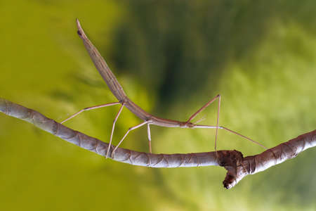 Europese wandelende tak stick insect on the branch