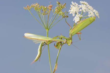 mantid: Female of Praying mantis eating male after mating