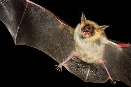 大きいマウス耳バット、ホオヒゲコウモリ myoti 夜のフライト