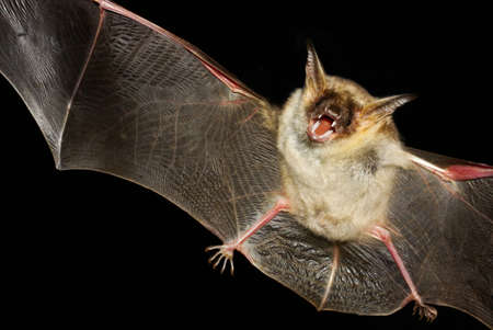Greater mouse-eared bat,  myotis myoti,  flight in the night
