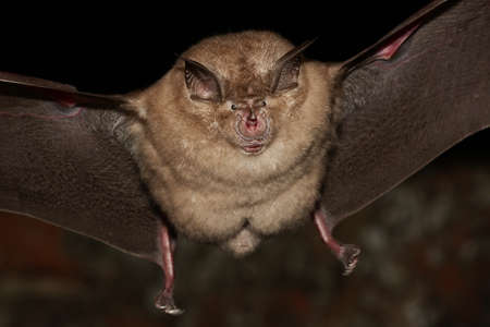 bat animal: Greater horseshoe bat flight in the night