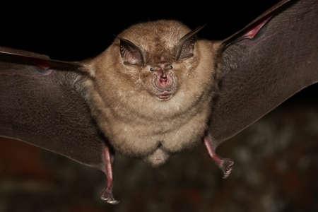 bate: Mayor vuelo murciélago de herradura en la noche