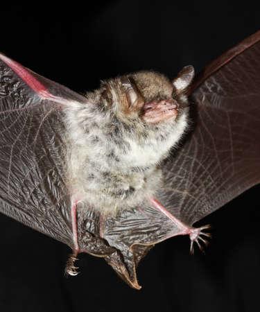 Großes Mausohr, Myotis Myoti, Flug In Der Nacht Lizenzfreie Fotos ...