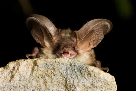 Grey long eared bat, plecotus austriakus,resting on the stone Фото со стока