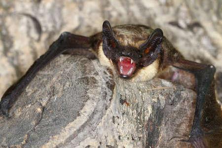 一部色バット ナミエヒナコウモリについては、枝に歯を示しています 写真素材 - 51114952