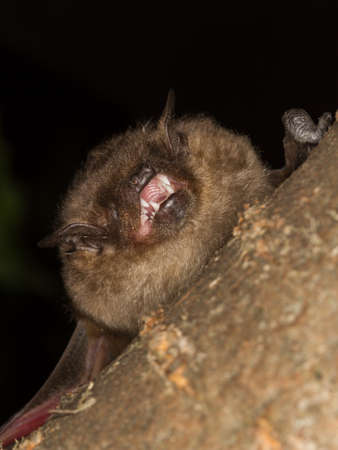 The Serotine bat, Eptesicus serotinus,  shows  teeth