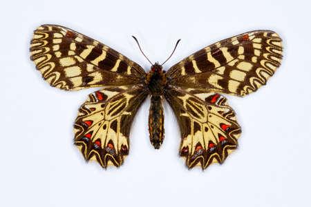 festoon: Southern festoon butterfly, latin name zerynthia polyxena isolated on white Stock Photo