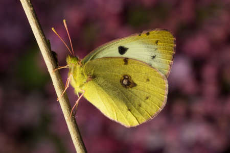 clouded: Bergers clouded yellow butterfly sitting on  the branch