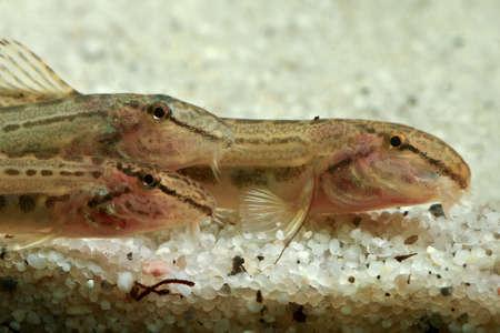 loach: Three European fresh water spined loach, Cobitis taenia Stock Photo