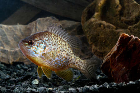 Pumpkinseed, lepomis gibbosus  invasive  species swimming in pond.