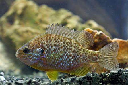 invasive: Pumpkinseed, lepomis gibbosus  invasive  species swimming in aquarium Stock Photo