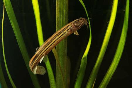 Weatherfish, Misgurnus fossilis svimming in the pond Banque d'images
