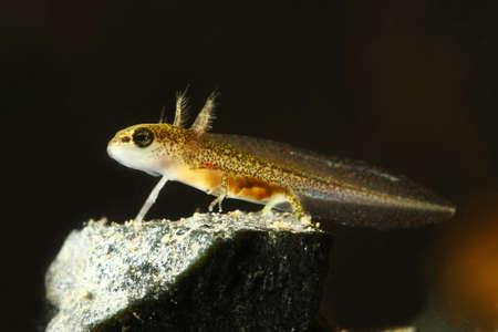 newt: Common newt  Triturus vulgaris tadpole in the aquarium