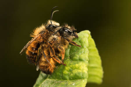 mating: Mating of Osmia rufa solitary bee Stock Photo